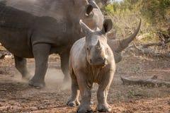 Behandla som ett barn den vita noshörningen med hans moder Arkivfoton