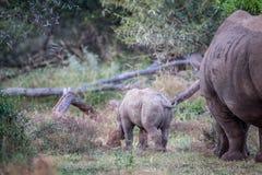 Behandla som ett barn den vita noshörningen och fostra bakifrån Arkivbild