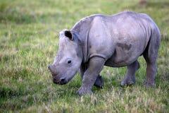 Behandla som ett barn den vita noshörning-/noshörningkalven Royaltyfria Bilder