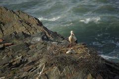Behandla som ett barn den vita storken för mamman & Royaltyfria Foton
