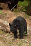 behandla som ett barn den wild björnen Arkivbild