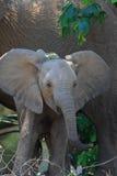 behandla som ett barn den wild elefanten royaltyfria bilder