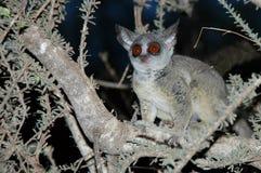 behandla som ett barn den wild mörka galagoen för busken Arkivfoton