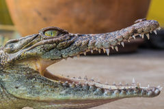 Behandla som ett barn denvatten krokodilen Royaltyfria Foton