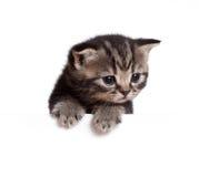 behandla som ett barn det brittiska kattungeskottet royaltyfria foton