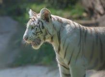 Behandla som ett barn det ensamma anseendet för tigern på zoo i profilfärg royaltyfria bilder