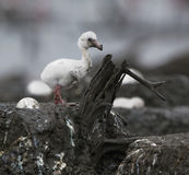 behandla som ett barn det karibiska flamingoredet för fågeln Royaltyfri Fotografi