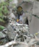 Behandla som ett barn det kvinnliga matande spädbarn för den Annas hummingbirden bygga bo in, pismobeac Arkivfoto