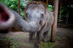 2009 behandla som ett barn det tagna elefantfotoet Fotografering för Bildbyråer