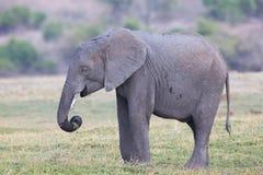 2009 behandla som ett barn det tagna elefantfotoet Royaltyfria Bilder