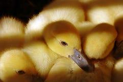 behandla som ett barn ducklings Royaltyfria Foton