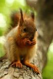 Behandla som ett barn ekorren på ett träd Arkivbild
