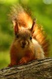 Behandla som ett barn ekorren på ett träd Arkivfoton