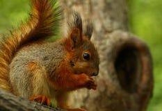 Behandla som ett barn ekorren på ett träd Arkivfoto