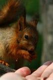 Behandla som ett barn ekorren på ett träd Fotografering för Bildbyråer