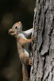 Behandla som ett barn ekorren på ett träd Royaltyfria Bilder