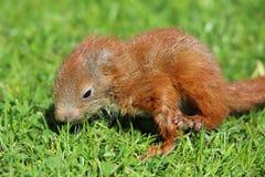 Behandla som ett barn ekorren på gräs Fotografering för Bildbyråer