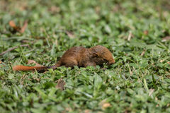 Behandla som ett barn ekorren på gräs i parkera Arkivfoto
