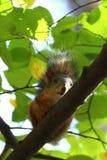 Behandla som ett barn ekorren på ett träd Arkivbilder