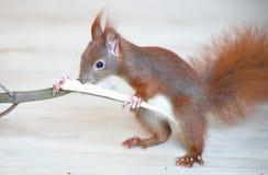 Behandla som ett barn ekorren som spelar med trä Arkivbild