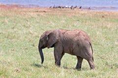 Behandla som ett barn elefantanseendet på de frodiga gröna slättarna i den Bumi nationalparken royaltyfri fotografi
