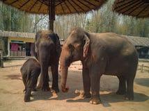 Behandla som ett barn elefanten är med familjen arkivfoton
