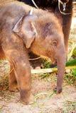 Behandla som ett barn elefanten äter gräs royaltyfri fotografi