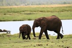 behandla som ett barn elefanten Arkivfoton