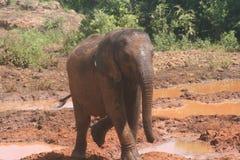 behandla som ett barn elefanten Royaltyfri Fotografi