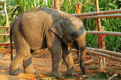 behandla som ett barn elefanten Fotografering för Bildbyråer