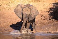 behandla som ett barn elefanten Arkivbild