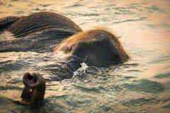 Behandla som ett barn elefanten som badar i havet under solnedgång arkivfoton