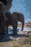 Behandla som ett barn elefanten bredvid föräldrar på lerig flodstrand arkivbilder