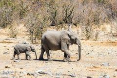Behandla som ett barn elefanten följer en moder arkivfoto