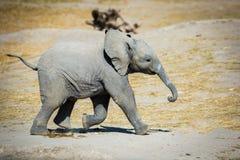 Behandla som ett barn elefanten som från sidan kör Arkivbild