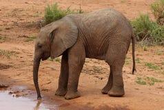 Behandla som ett barn elefanten i Afrika Royaltyfria Foton