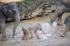 Behandla som ett barn elefanten i en flock av elefanter Royaltyfria Foton