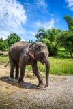 Behandla som ett barn elefanten, i skyddat, parkerar, Chiang Mai, Thailand royaltyfri foto