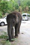 Behandla som ett barn elefanten som kedjas fast för att få pengar från turister arkivbilder