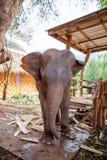 Behandla som ett barn elefanten som kedjas fast i elefantcampingplatsen i Kanchanaburi, Thailand Februari 15, 2012 royaltyfri fotografi
