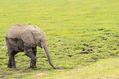 Behandla som ett barn elefanten som kommer ut ur träsket i savannahen av Ambosel Royaltyfri Fotografi