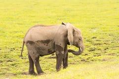 Behandla som ett barn elefanten som kommer ut ur träsket i savannahen av Ambosel Arkivfoto