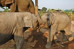 behandla som ett barn elefanten kopplar samman Arkivfoto