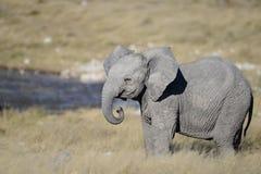 Behandla som ett barn elefanten med den krullade stammen arkivbilder