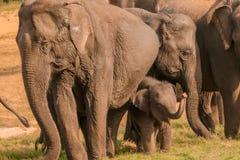 Behandla som ett barn elefanten med föräldrar Royaltyfri Foto