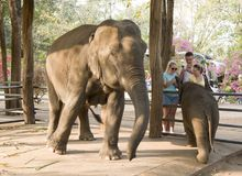 Behandla som ett barn elefanten med hans moder som smeker en turist, turisttaki Royaltyfri Foto