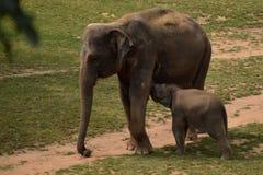 Behandla som ett barn elefanten med hans mum Royaltyfri Foto