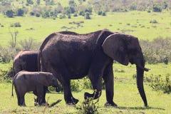 Behandla som ett barn elefanten med modern i Afrika Fotografering för Bildbyråer
