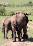 Behandla som ett barn elefanten med modern i Afrika Arkivbild