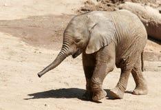 Behandla som ett barn elefanten med stammen som kommer upp arkivfoto